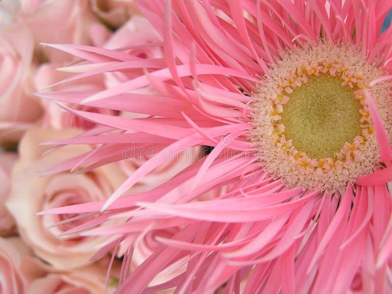 Zoete pinks stock foto