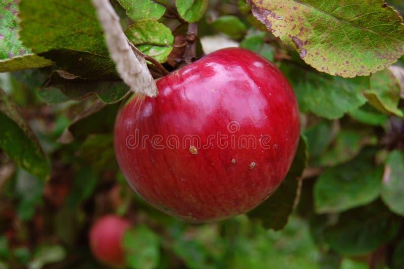 Zoete rode appel stock foto's