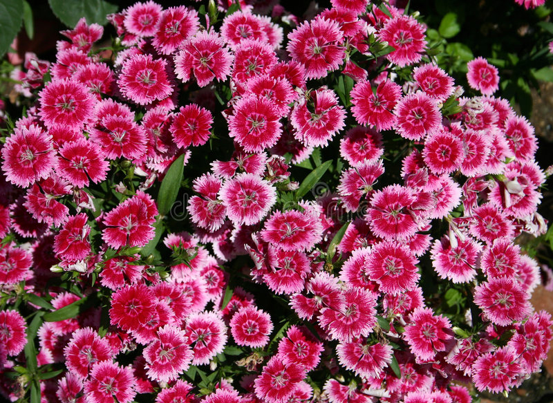 Zoete William (Dianthus barbat royalty-vrije stock afbeelding