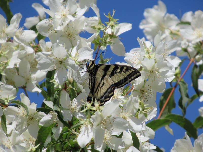 Zoete witte bloemen met tijger swallowtail vlinder, de Lente van 2018 royalty-vrije stock foto