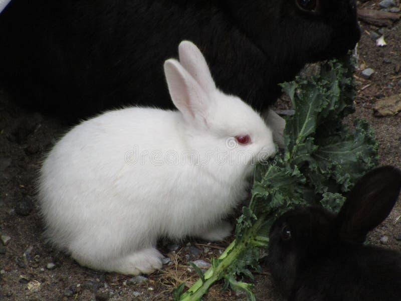 Zoete witte en zwarte konijntjeskonijnen, Canada, 2018 royalty-vrije stock foto