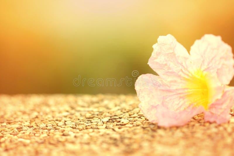 Zoete zachte nadruk roze bloem met zonlichteffect stock foto's