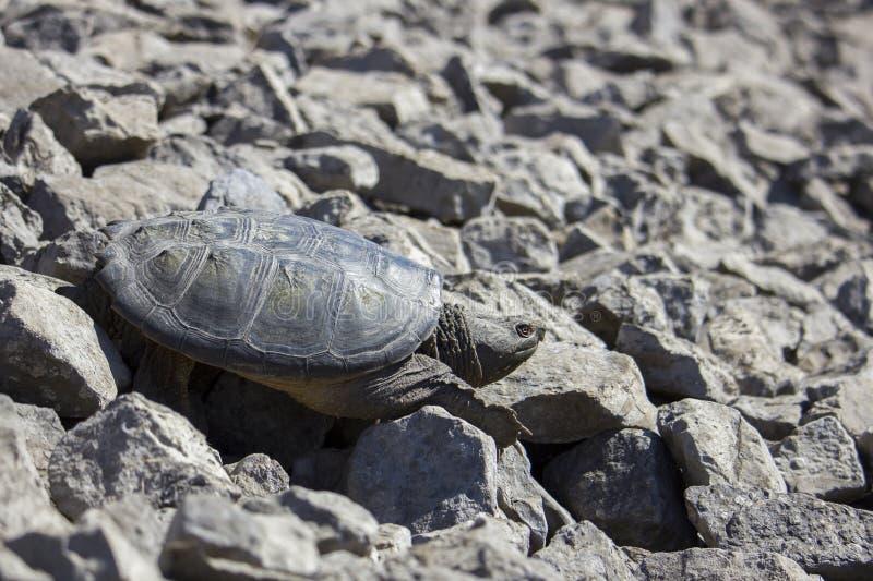 Zoetwater Brekende Schildpad stock foto's