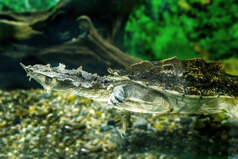 Zoetwater exotische schildpadden Matamata stock afbeeldingen