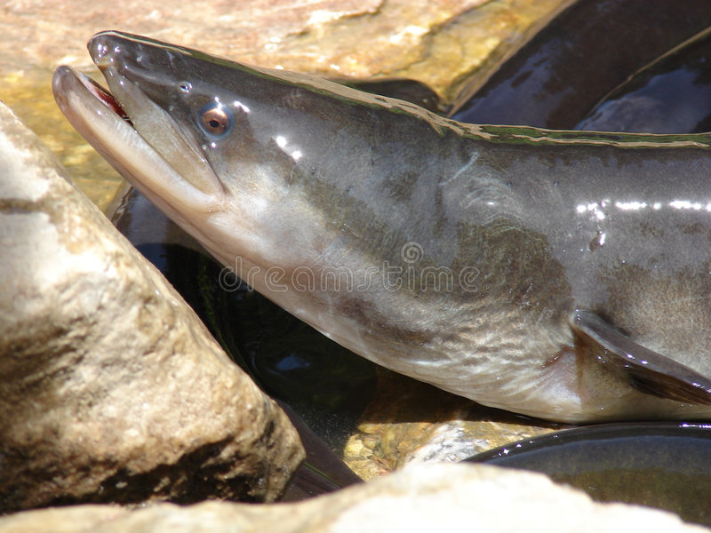 Zoetwater paling uit water stock afbeeldingen