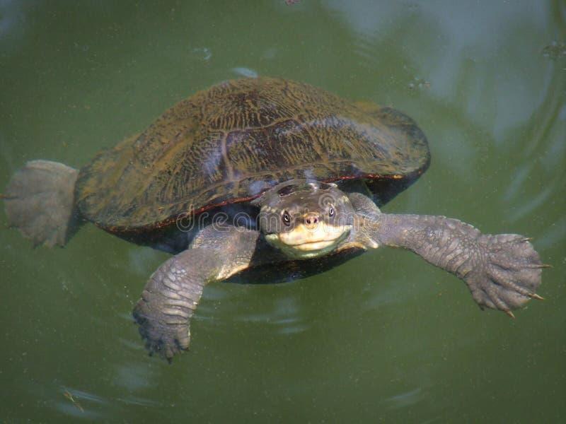 Zoetwaterschildpad stock afbeelding