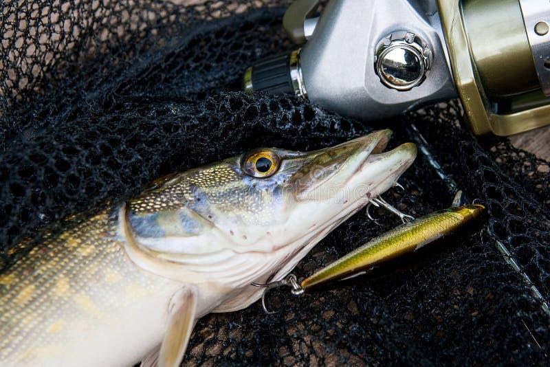 Zoetwatersnoeken met visserijlokmiddel in mond en vistuigen royalty-vrije stock foto
