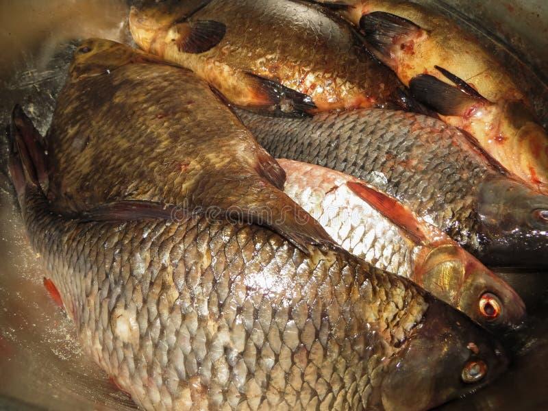 Zoetwatervissen, voorn, cruciankarper en lijn in het bekken stock fotografie