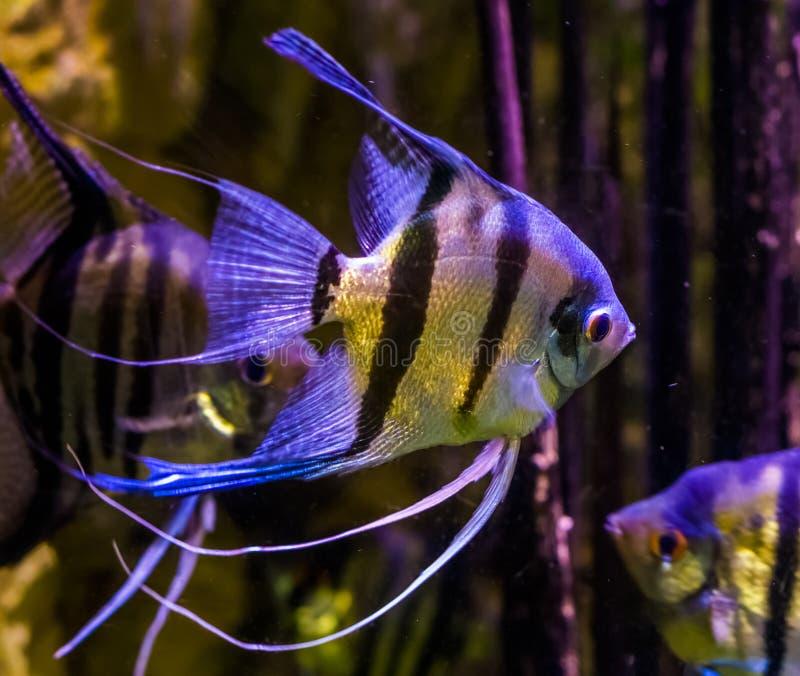 Zoetwaterzeeëngels die in het water, close-up zwemmen van zeeëngel, populaire huisdieren in aquicultuur, tropische vissen van Ama stock foto's