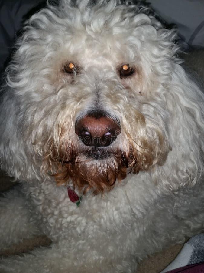 Zoey我的狗 免版税库存图片
