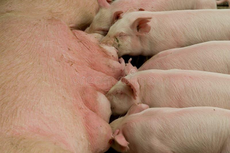 Zogende Roze Varkens stock afbeeldingen