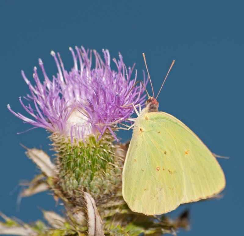 Zolfo Cloudless che si alimenta su un fiore del cardo selvatico fotografie stock