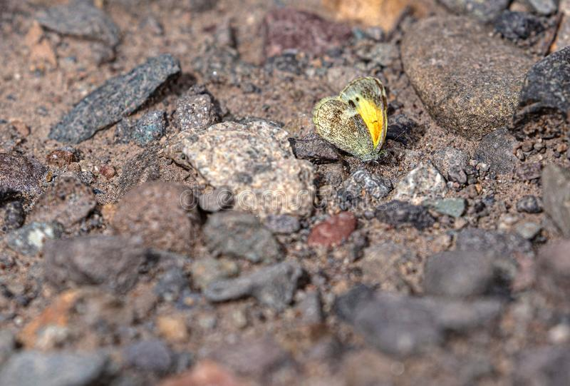 Zolfo Dainty, Nathalis iole, Butterfly, Puddling, Portland, Colorado immagini stock libere da diritti