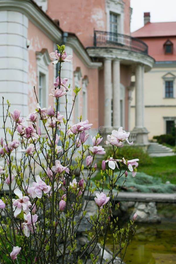 Zolochiv, Ucrania - 2 de mayo de 2017: Magnolia floreciente en el jardín del castillo en Zolochiv, Ucrania foto de archivo libre de regalías