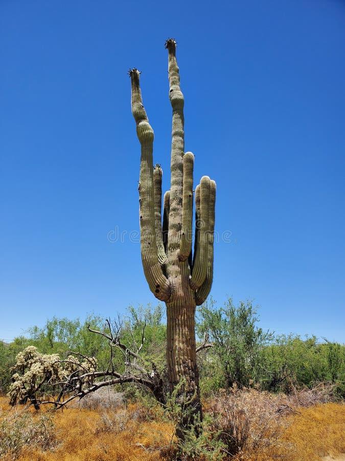 Zomer van de het majestueuze landschaps de blauwe hemel van de saguarocactus stock afbeelding