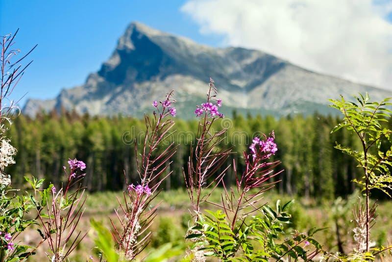 Zomerlandschap met Chamaenerion-angustifolium als wilgeroosje tegen de achtergrond van onderstel Krivan wordt bekend in bergen H  royalty-vrije stock afbeelding