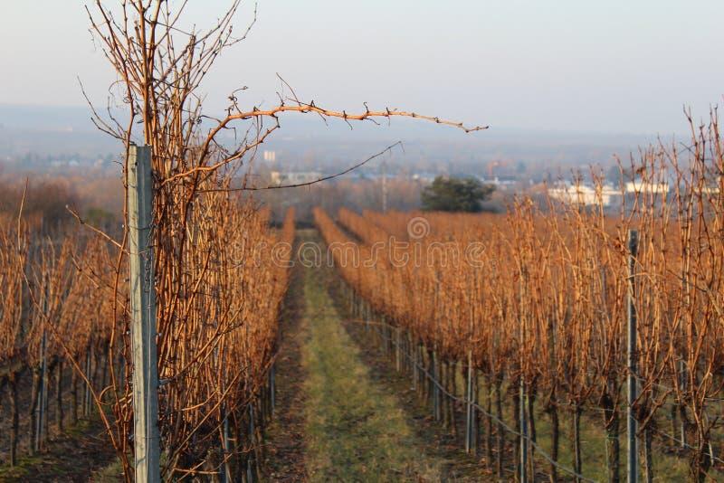 Zon in de wijnstokken royalty-vrije stock foto