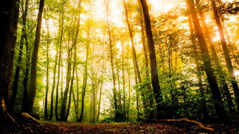 Zon die door bladbomen in bos glanzen stock foto's