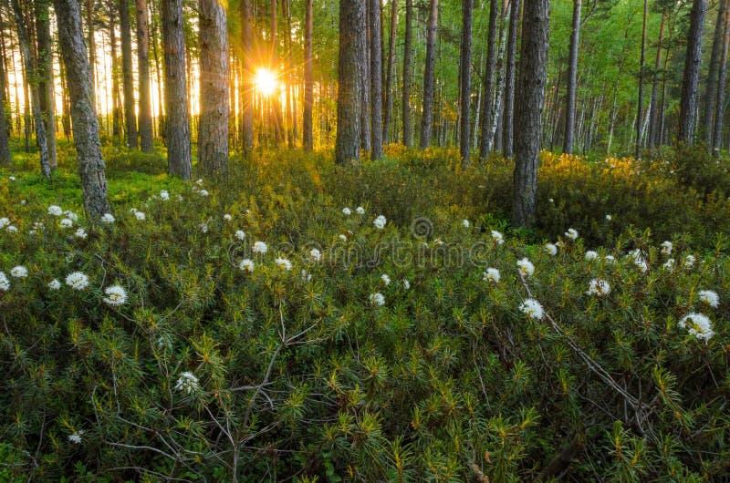 Zon die door de bosbomen in de ochtend glanzen royalty-vrije stock afbeelding