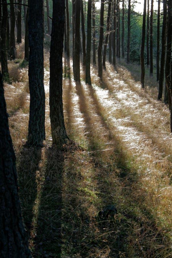 Zon die door het kreupelhout glanzen stock foto's
