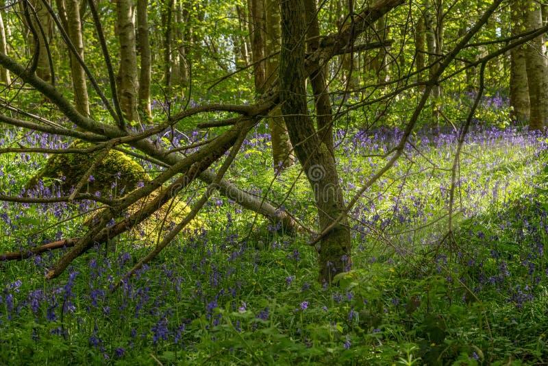 Zon door Gevallen Takken nadenken en Moss Covered Bolder die in een Schots Bos met Klokjes royalty-vrije stock fotografie