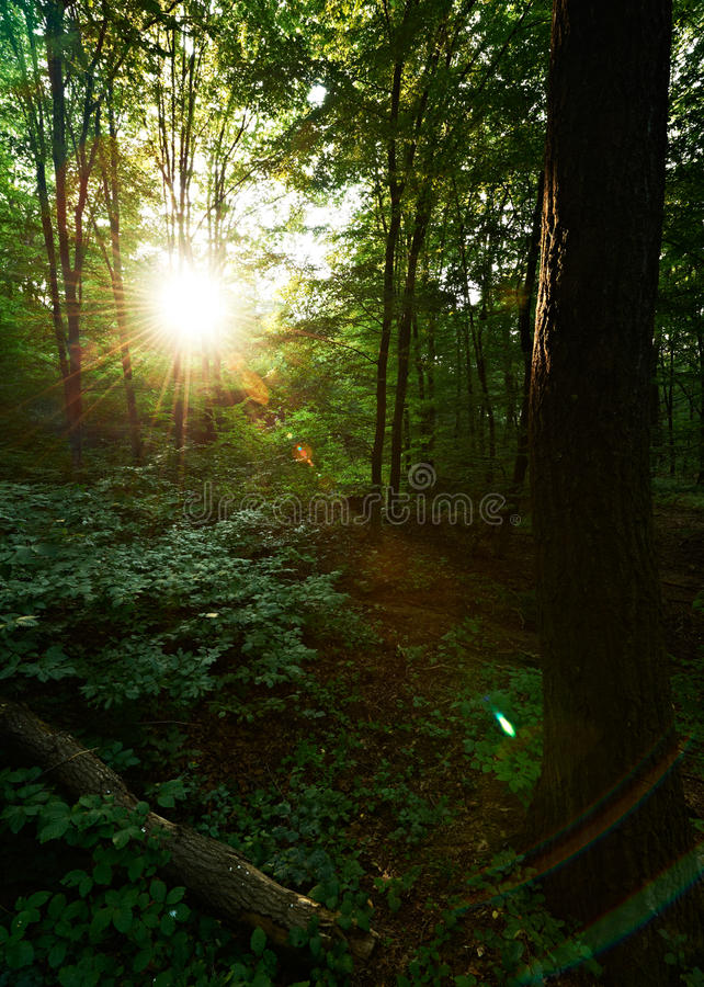 Zon in eiken bos stock afbeeldingen
