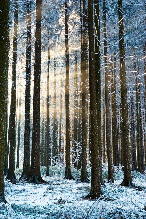 zon stralen in bos, de winter stock fotografie