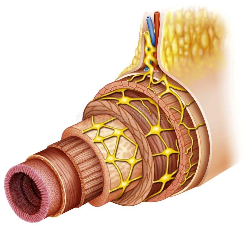 Zona intestinal stock de ilustración