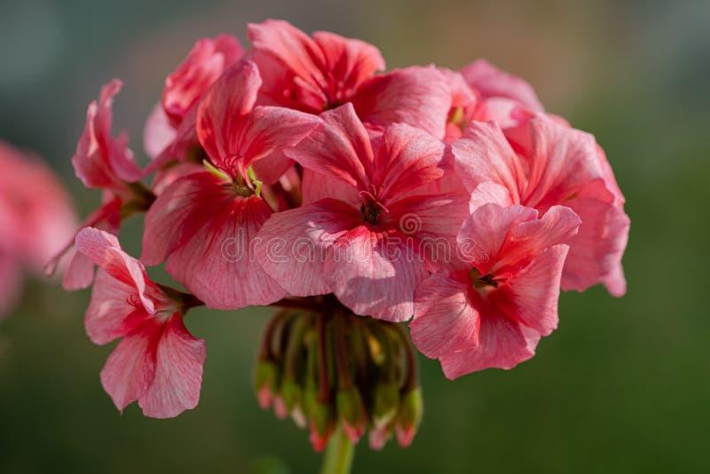 Zonale rosado Willd del Pelargonium de los pétalos de las flores Fotograf?a macra fotos de archivo