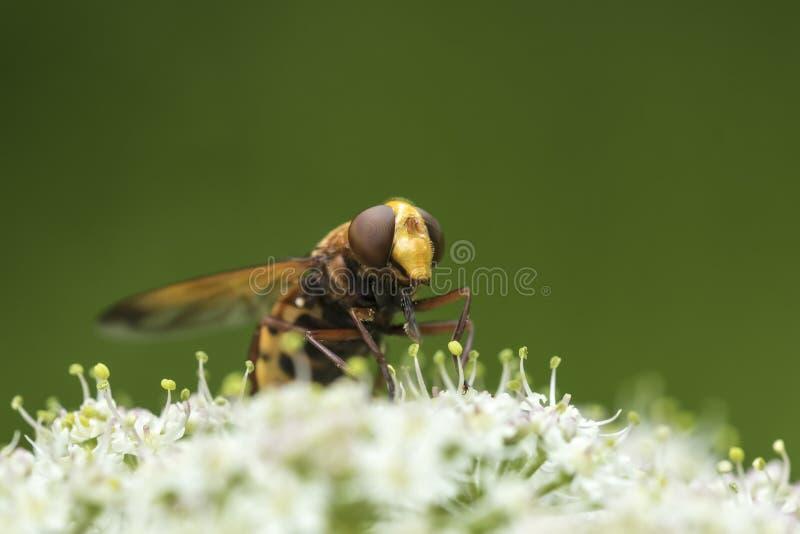 Zonaria de Volucella, indicação do zangão hoverfly, fotografia de stock royalty free