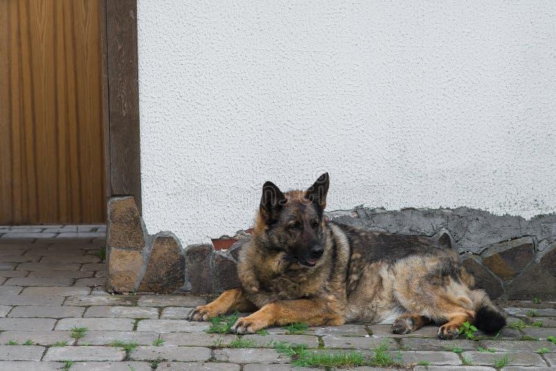 Zonarn-rote Farbe des Schäferhunds liegt im Yard lizenzfreie stockbilder