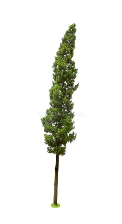 Zonas tropicales de los árboles de pino aisladas en el fondo blanco, CUPRESSACEAE, Juniperus L Chinensis fotos de archivo libres de regalías