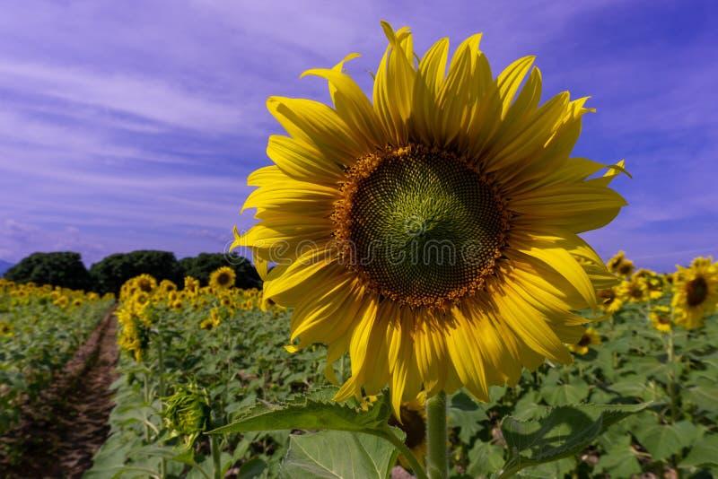 Zonbloem op blauwe hemel royalty-vrije stock foto