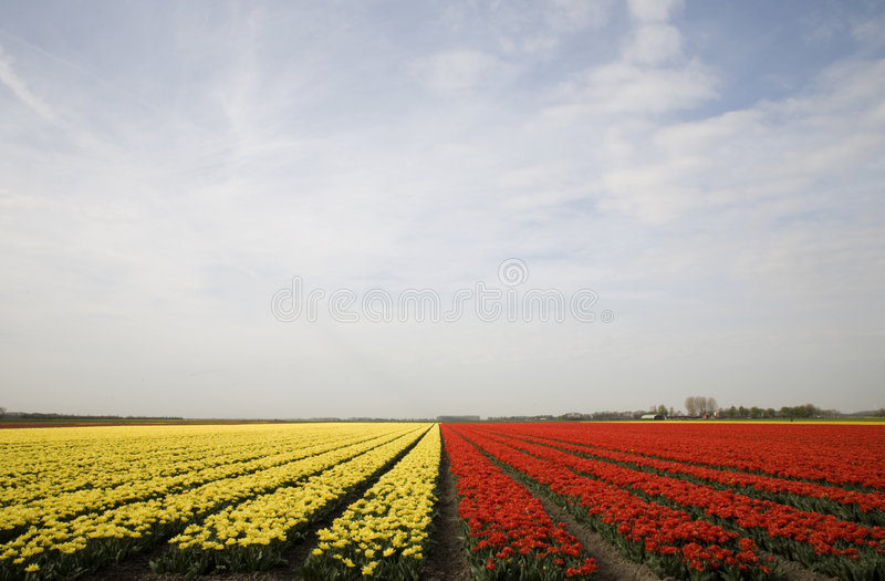 Zone 10 de tulipe image stock