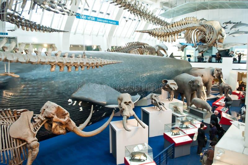 Zone bleue de musée d'histoire naturelle photographie stock libre de droits
