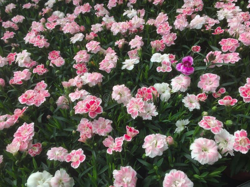 Zone colorée des fleurs photographie stock