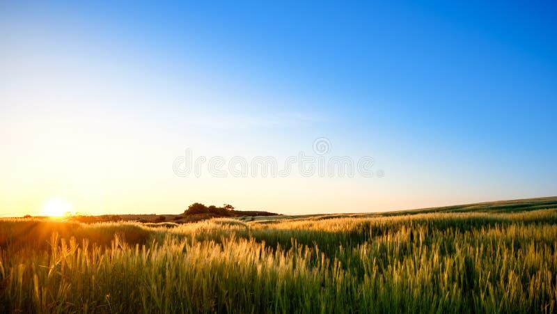 Download Zone d'or photo stock. Image du beau, vert, zone, maïs - 77161926