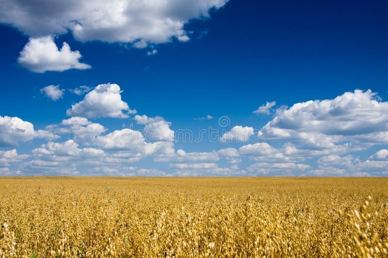 Zone d'or d'avoine au-dessus de ciel bleu image stock