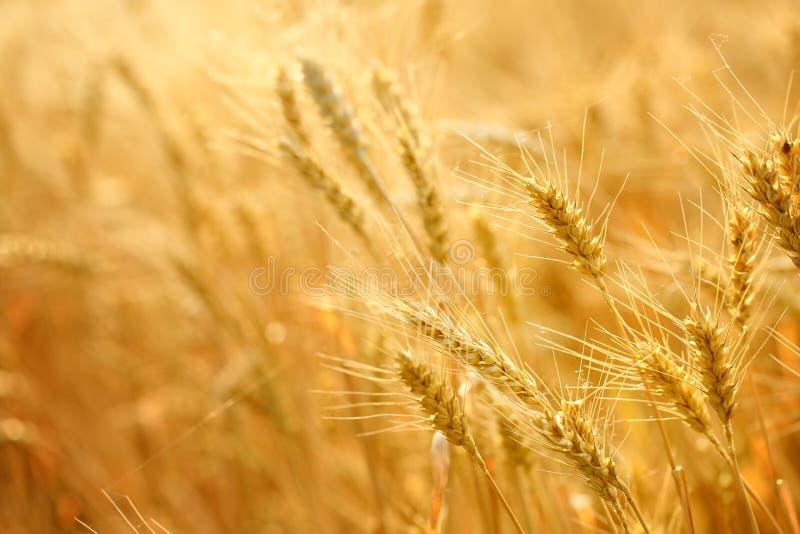 Zone de blé photo stock