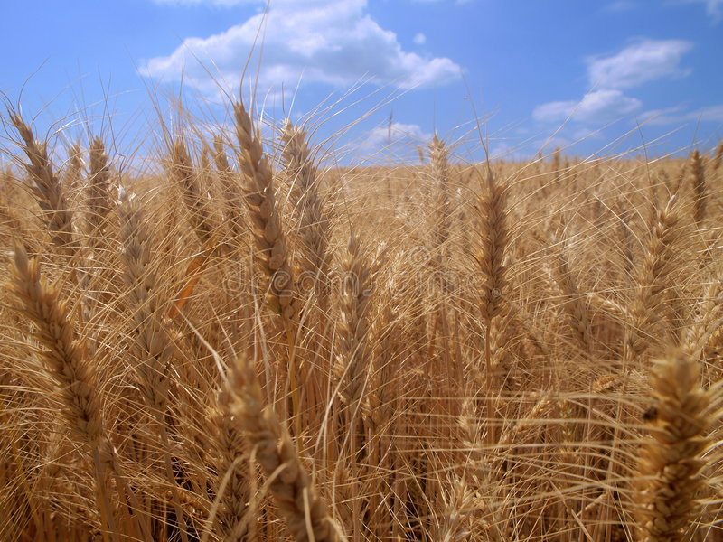 Zone de blé photos libres de droits