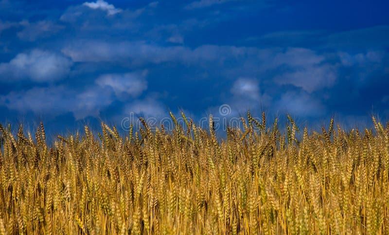 Zone de blé avec des nuages image libre de droits