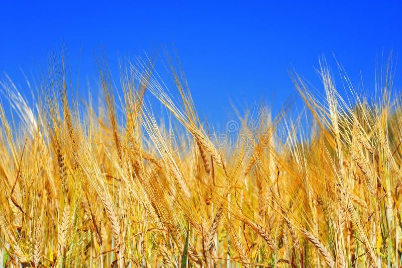 Zone de blé d'or avec le ciel bleu image stock