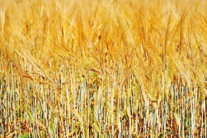 Zone de blé d'or avec le ciel bleu photographie stock libre de droits