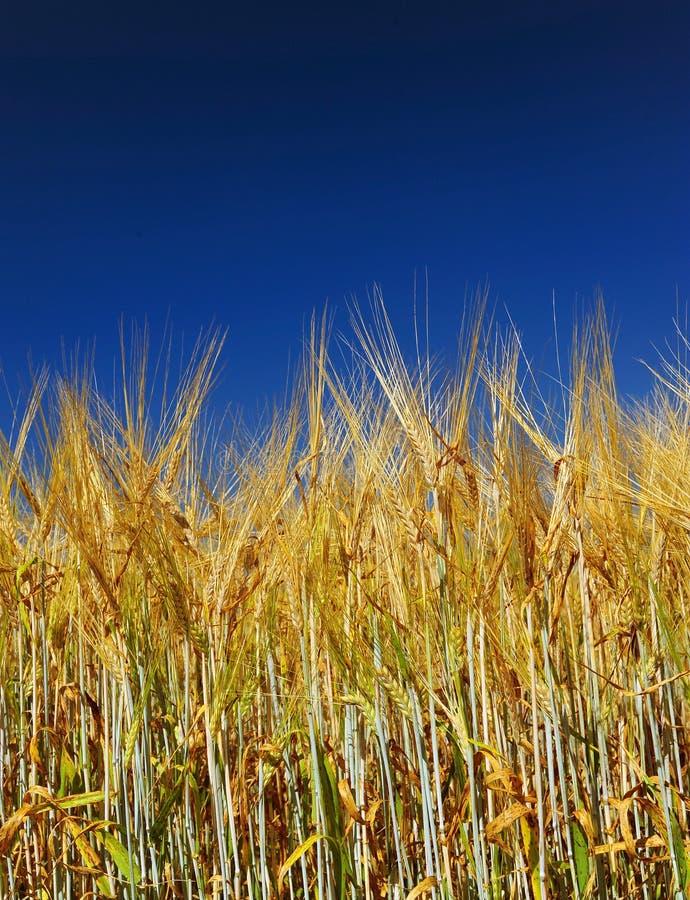 Zone de blé d'or avec le ciel bleu photographie stock