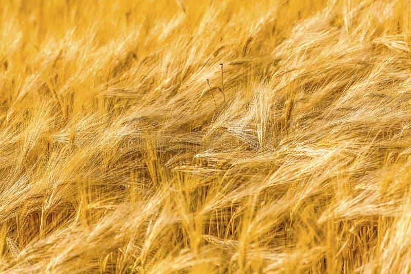 Zone de blé d'or Oreilles de fin de blé  photos stock