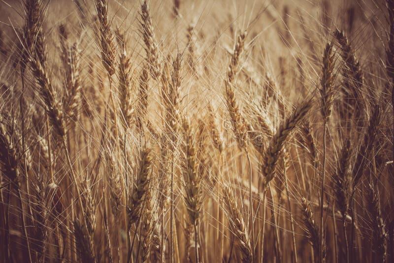 Zone de blé mûr Macro grains d'épi de photo images libres de droits