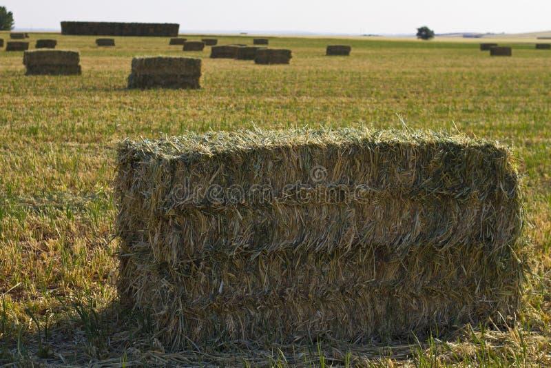 Zone de blé, moisson. image libre de droits