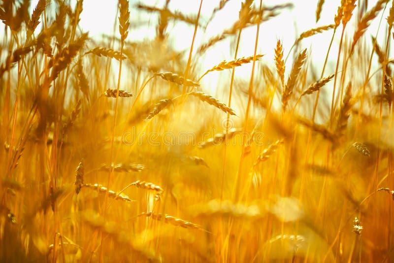 Zone de blé Oreilles de fin d'or de blé  Concept riche de récolte photo stock