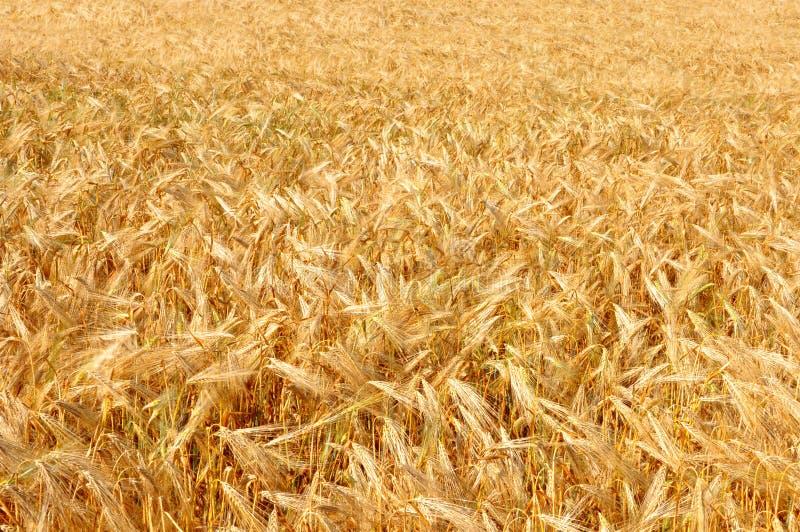 Zone de blé Oreilles de fin d'or de blé  Fond de ripeni images stock