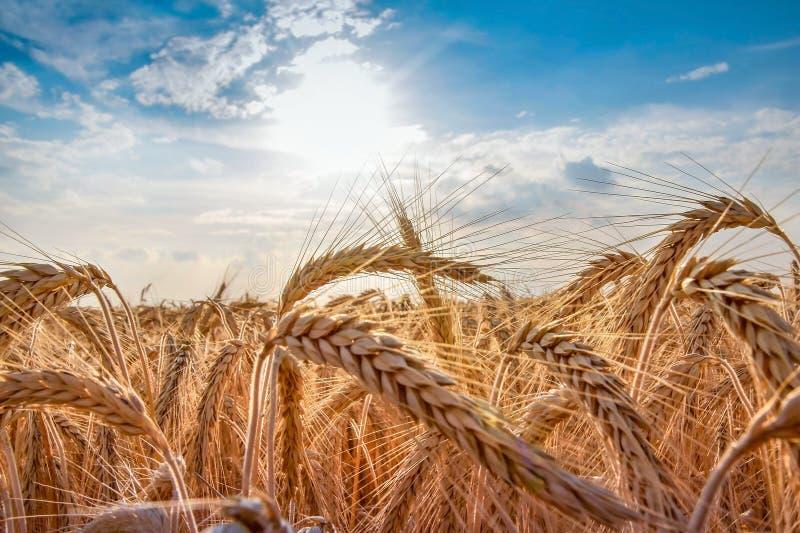 Zone de blé Oreilles de fin d'or de blé  photo libre de droits